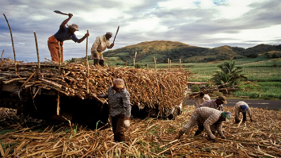 Farmers Prepare For Cane Harvesting
