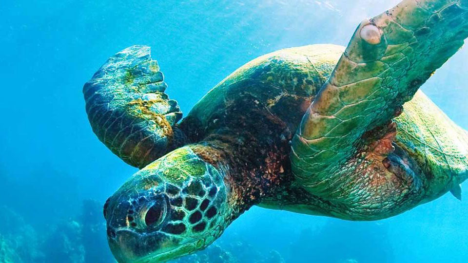 Conserving Sea Turtles A Major Challenge: WWF