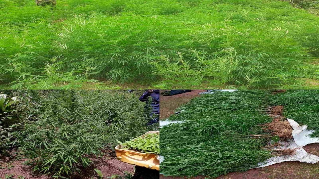 fbcnews.com.fj - More than 600 plants believed to be marijuana discovered in Vanua Levu